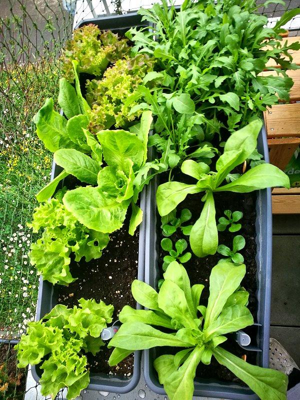 Salate im Balkonkasten